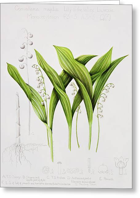 Stalks Of Grass Greeting Cards - Lily of the Valley Greeting Card by Sally Crosthwaite