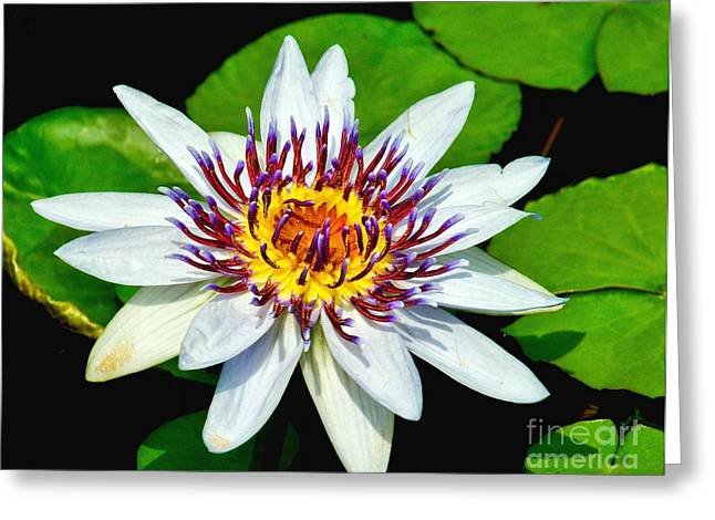 Aquatic Greeting Cards - Lily on the Water Greeting Card by Nick Zelinsky