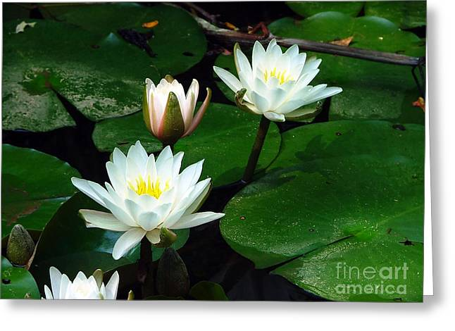 Lilly Pad Greeting Cards - Lily Pad flowers  Greeting Card by Jt PhotoDesign