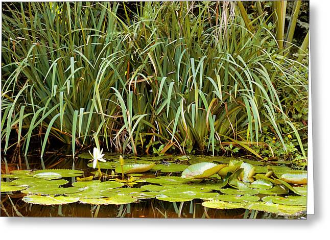 Historic Home Greeting Cards - Lily Pads and Rushes Greeting Card by Rich Franco