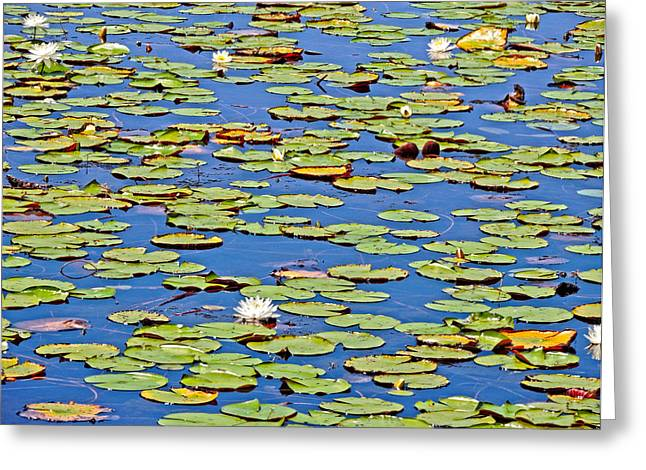 Taxonomic Greeting Cards - Lily Pads at Saint Marks Florida Greeting Card by Marilyn Holkham