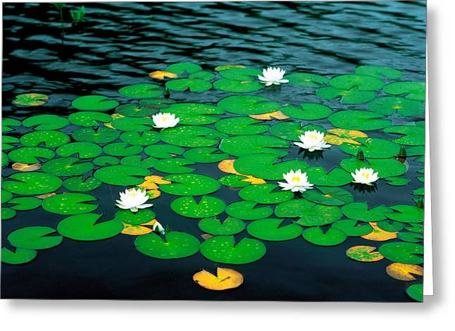 Aquatic Greeting Cards - Lily Pads With Water Lily Greeting Card by Panoramic Images