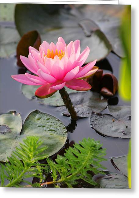 Lily Pink Greeting Card by Carolyn Stagger Cokley