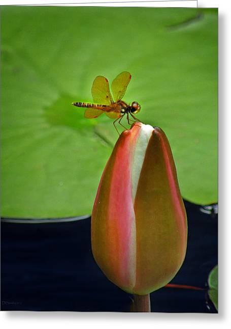 Amberwing Greeting Cards - Lily Pond Amberwing Greeting Card by Deborah Smith