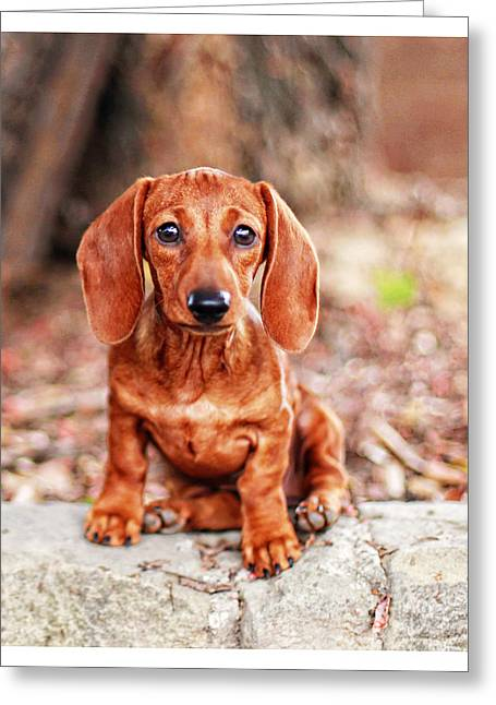Hounddog Greeting Cards - Lily puppy  Greeting Card by Johnny Ortez-Tibbels