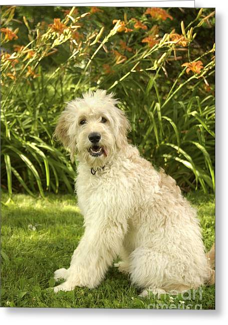 Goldendoodle Greeting Cards - Lily the Goldendoodle with Daylilies Greeting Card by Anna Lisa Yoder