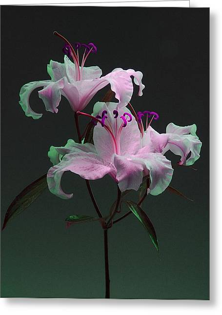 Wiggins Greeting Cards - Lily Variation #04 Greeting Card by Richard Wiggins