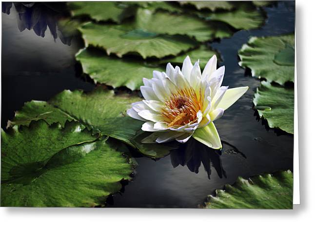 Lily Pads Greeting Cards - Lily White Greeting Card by Jessica Jenney