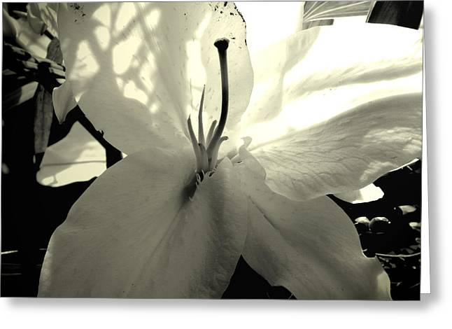Lili Greeting Cards - Lily White Greeting Card by Katy Hawk