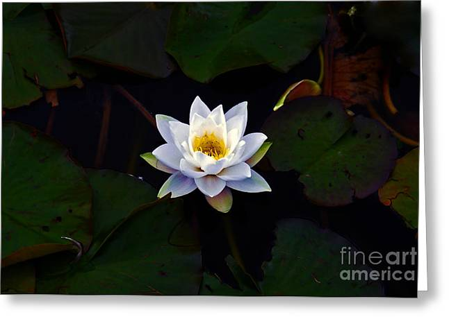 Nymphaea Alba Greeting Cards - Lily White  Greeting Card by Nina Ficur Feenan