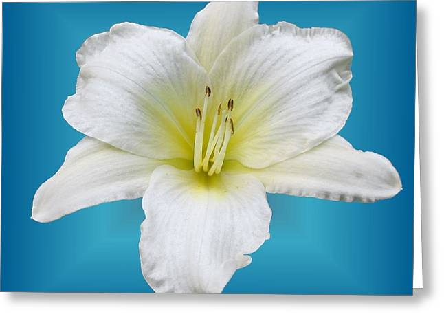 Shepherds Greeting Cards - Lily White on Blue Greeting Card by MTBobbins Photography