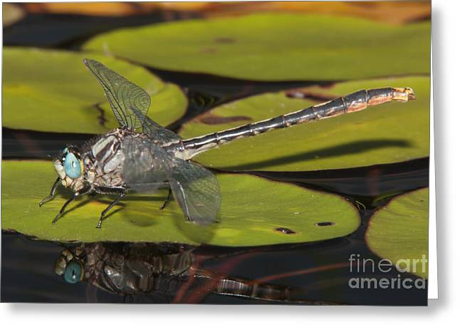 Promised Land Greeting Cards - Lilypad Clubtail on a Lily Pad Greeting Card by Clarence Holmes