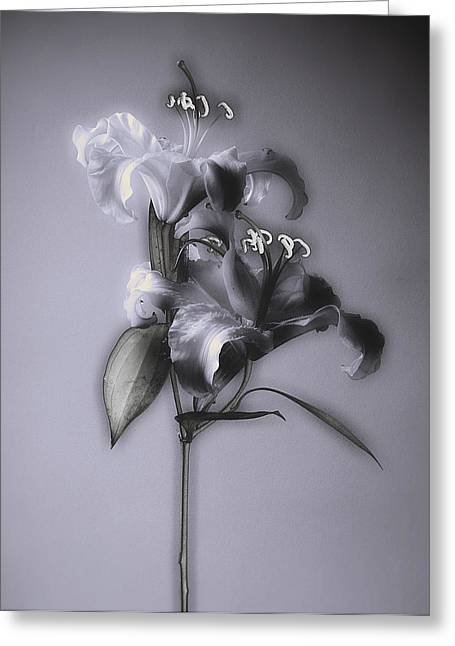 Candidum Greeting Cards - Lily_Variation#5 Greeting Card by Richard Wiggins