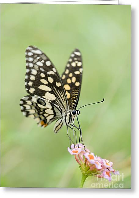 Feeding Greeting Cards - Lime Butterfly Feeding Greeting Card by Tim Gainey