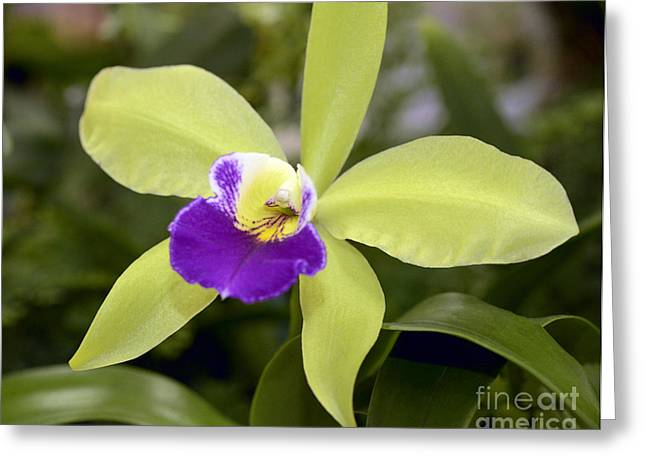 Epc Greeting Cards - Lime Green Orchid Greeting Card by Terri Winkler