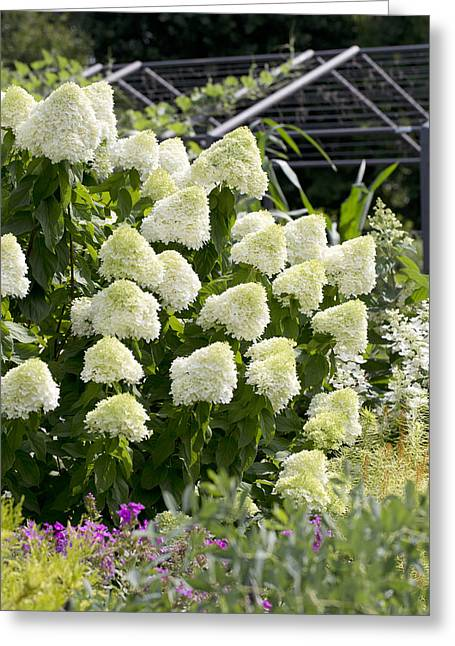 Limelight Greeting Cards - Limelight Hydrangea Greeting Card by Ben Phillips