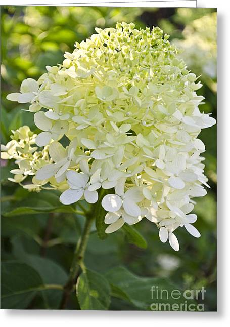 Limelight Greeting Cards - Limelight Hydrangea Greeting Card by Debra Johnson