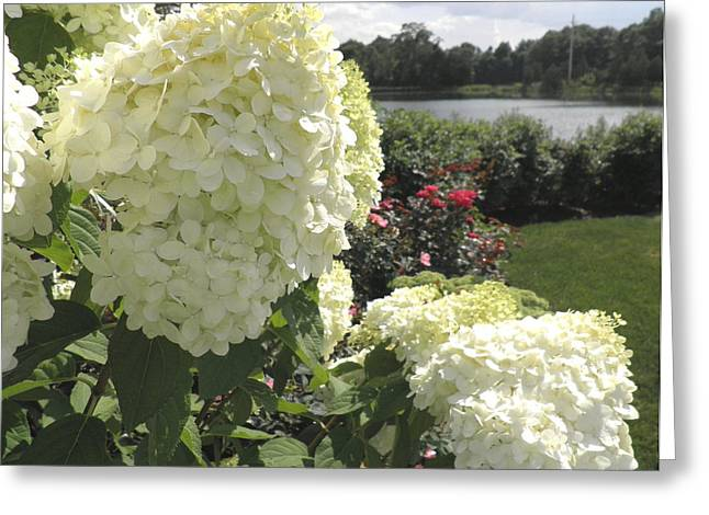 Limelight Greeting Cards - Limelight Hydrangeas And Roses By The Harbor Greeting Card by Kate Gallagher