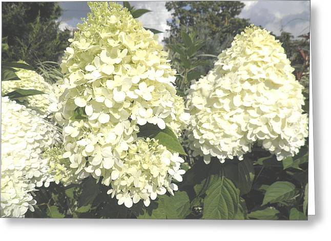 Limelight Greeting Cards - Limelight Hydrangeas Greeting Card by Kate Gallagher