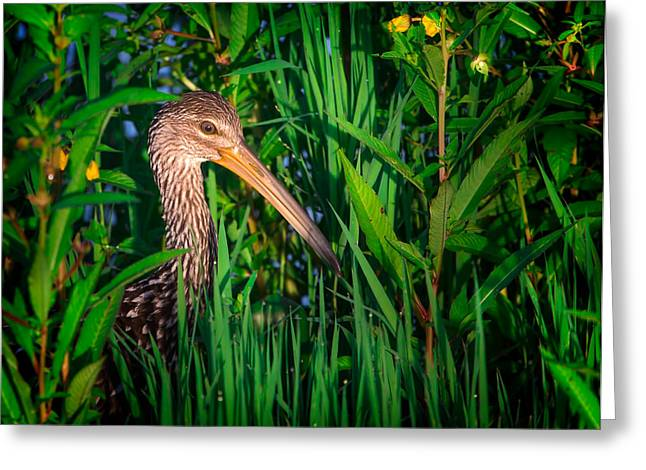Limpkin At Sunrise Greeting Card by Mark Andrew Thomas