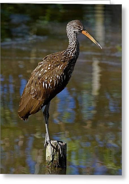 Wildlife Refuge. Greeting Cards - Limpkin Profile Greeting Card by Dawn Currie