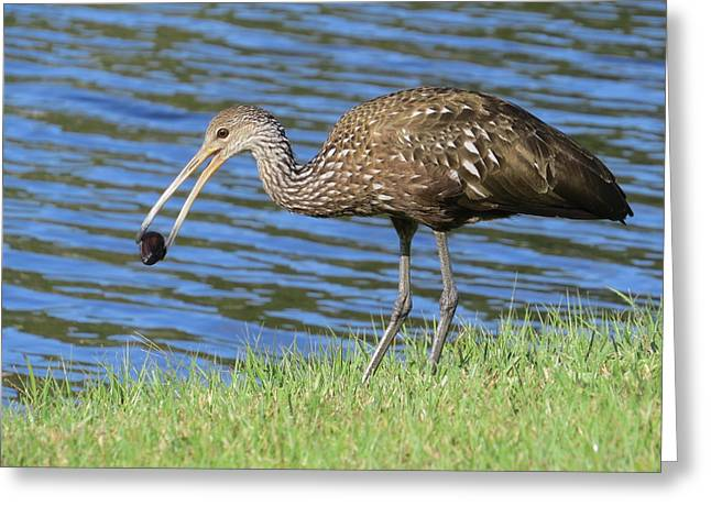 Carrao Greeting Cards - Limpkins lunch Greeting Card by Zina Stromberg