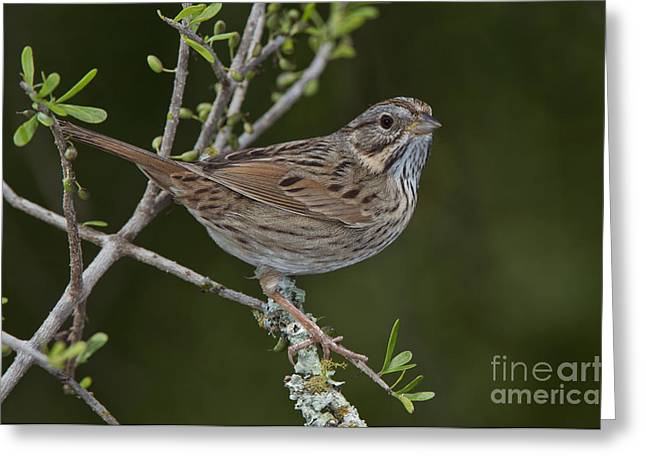 Sparrow Greeting Cards - Lincoln Sparrow Greeting Card by Anthony Mercieca