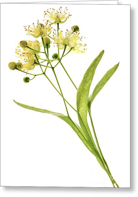 Medicinal Plant Greeting Cards - Linden blossom Greeting Card by Elena Elisseeva