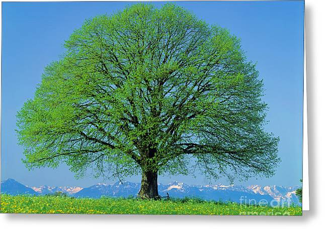 Whole Field Greeting Cards - Linden Tree In Spring Greeting Card by Hermann Eisenbeiss