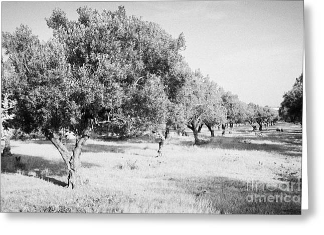 Olive Oil Greeting Cards - Line Of Olive Trees On Farmland In Hammamet Tunisia Greeting Card by Joe Fox