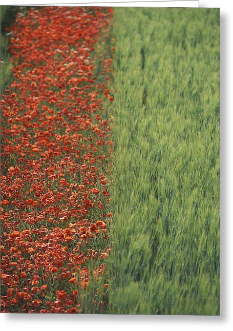 Southern France Greeting Cards - Line Of Red Poppies In Wheat Field In Greeting Card by Ian Cumming