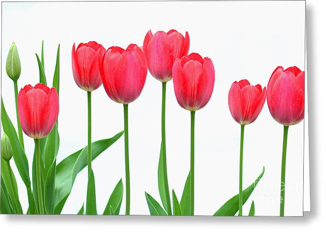 Line Of Tulips Greeting Card by Steve Augustin
