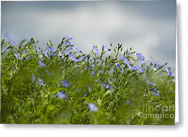 Selective Soft Focus Greeting Cards - Linseed Greeting Card by Anne Gilbert