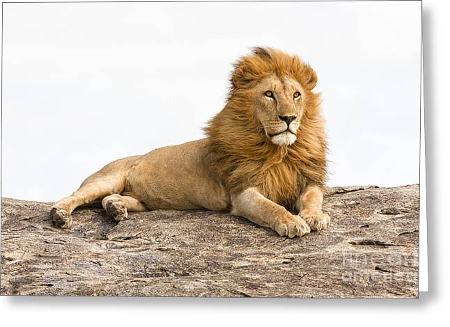 Majestic Cat Greeting Cards - Lion 4 Greeting Card by Eyal Bartov