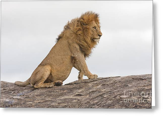 Majestic Cat Greeting Cards - Lion 5 Greeting Card by Eyal Bartov