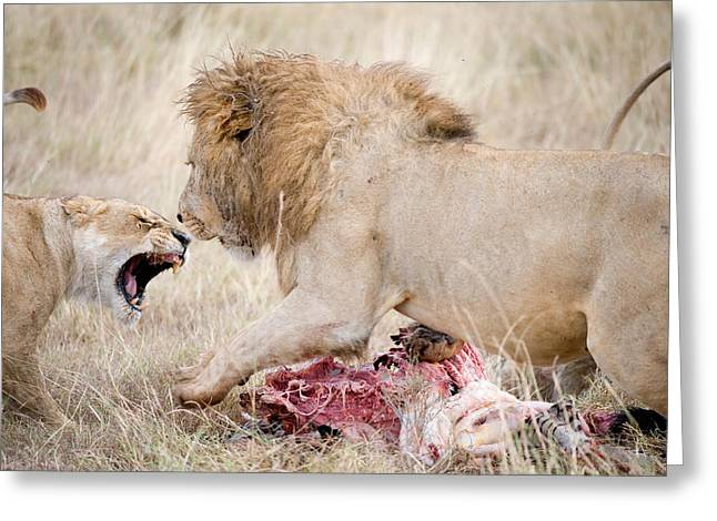 Female Animal Greeting Cards - Lion And A Lioness Panthera Leo Greeting Card by Panoramic Images