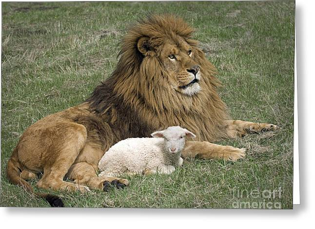 Lion And Lamb Greeting Cards - Lion and Lamb Greeting Card by Wildlife Fine Art