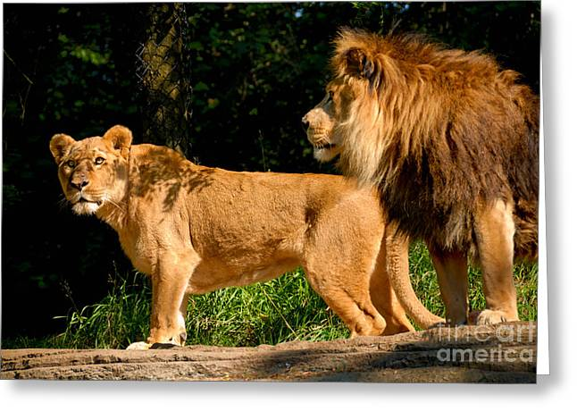 Lioness Greeting Cards - Lion and Lioness at Pittsburgh Zoo Greeting Card by Amy Cicconi