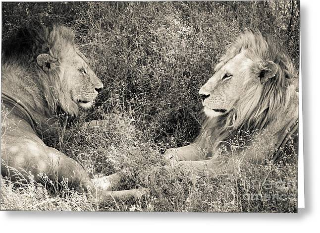 Best Friend Greeting Cards - Lion Brothers Greeting Card by Chris Scroggins