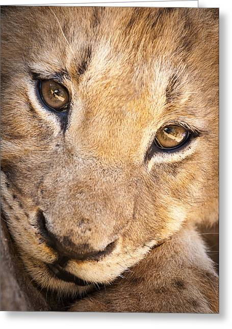 Predacious Greeting Cards - Lion cub portrait No. 1 Greeting Card by Andy-Kim Moeller