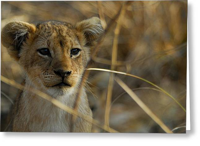 Lion Cub Greeting Card by Stefan Carpenter