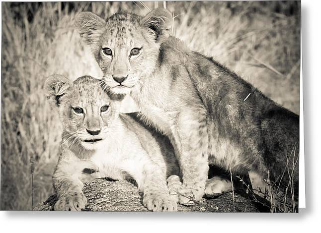 Love The Animal Greeting Cards - Lion Cub Love Greeting Card by Jennifer Minette