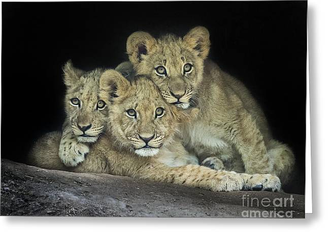 Lioness Greeting Cards - Lion Cubs Greeting Card by Linda D Lester