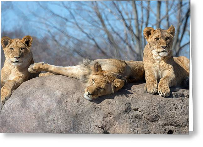 Large Cats Greeting Cards - Lion Cubs Greeting Card by Mark Papke