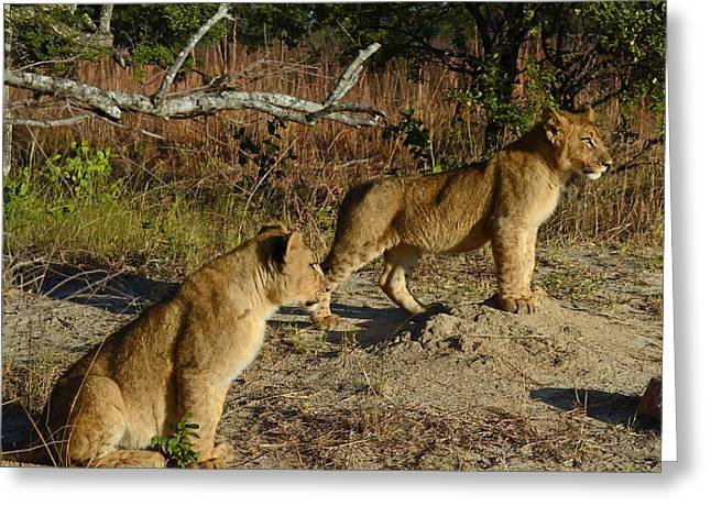Zimbabwe Greeting Cards - Lion Cubs of Zimbabwe  Greeting Card by Mountain Dreams