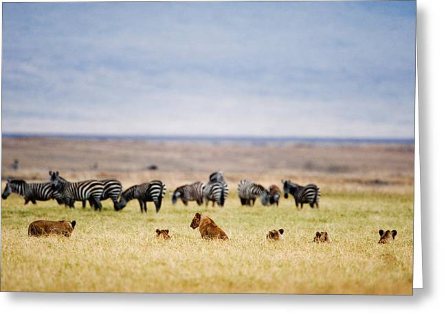 Animal Family Greeting Cards - Lion Family Panthera Leo Looking Greeting Card by Panoramic Images