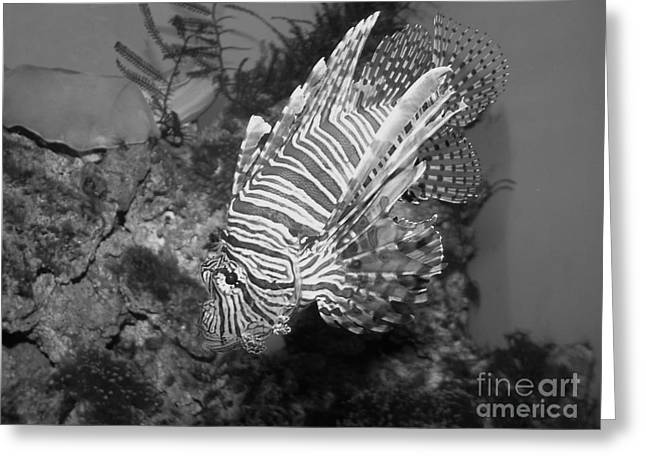 Preditor Greeting Cards - Lion Fish Black And White Greeting Card by TN Fairey