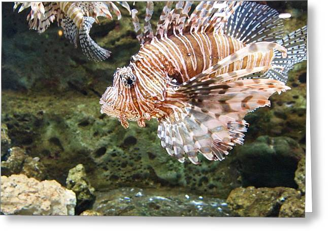 Aquarium Fish Greeting Cards - Lion Fish Greeting Card by Dan Sproul