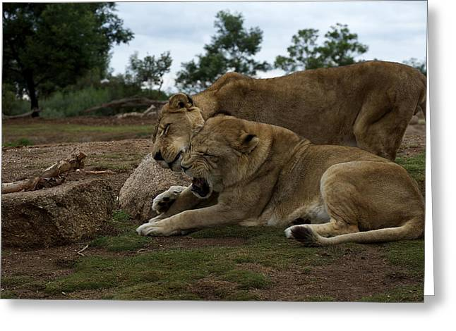 Lion - Get Off Me Greeting Card by Graham Palmer