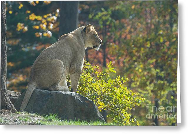 Lioness Greeting Cards - Lion in Autumn Greeting Card by Chris Scroggins